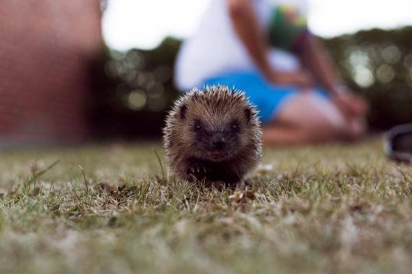 Julio the Hedgehog in Timaru.