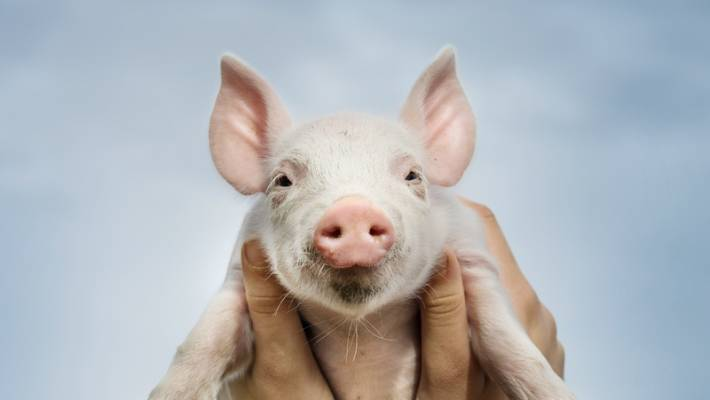 Makin Bacon 10 Tips To Growing Pigs Stuff Co Nz