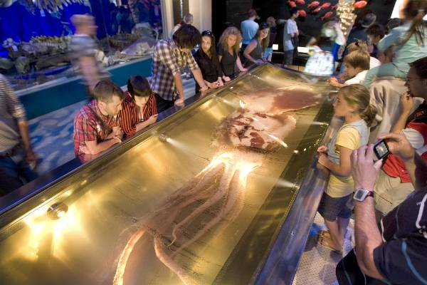A colossal squid attracted huge crowds to Te Papa in 2008.