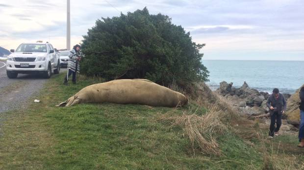 People have been stopping to have a look at the elephant seal at Goose Bay on State Highway 1 near Kaikoura.