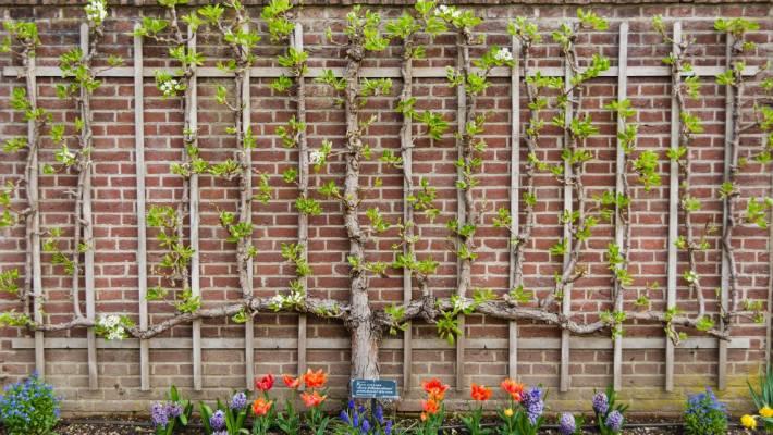 Velsete How to espalier a fruit tree | Stuff.co.nz SX-75