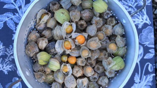The challenge of the cape gooseberry: cook it or leave it for the possums?