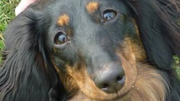 Tess the sausage dog was found four days after going missing in Upper Hutt.