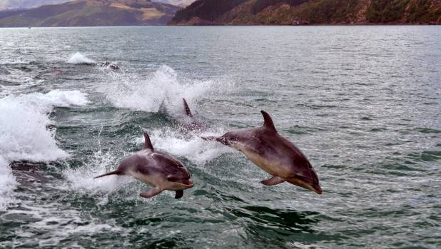 Dolphins are among mammals that have died at NZ King Salmon farms