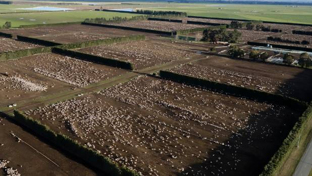 An aerial view of sheep in holding pattern at Rangitata Island north of Timaru awaiting shipment to Mexico.