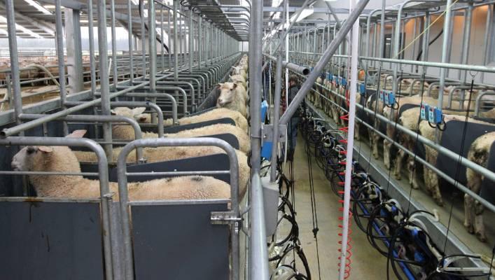Asian milking group