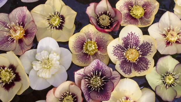 why you should grow hellebores