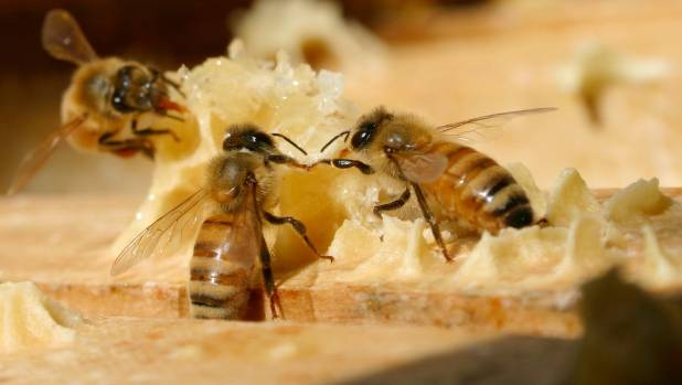 Large numbers of bees are disappearing from hives.