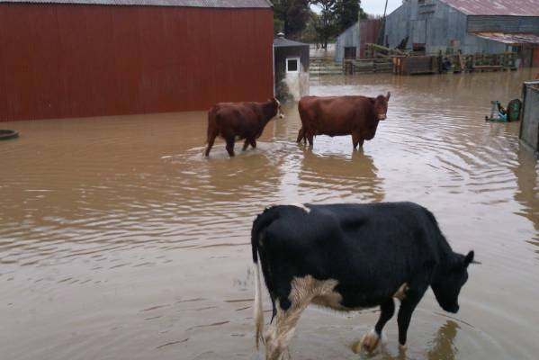 Flooded cows in Feilding.