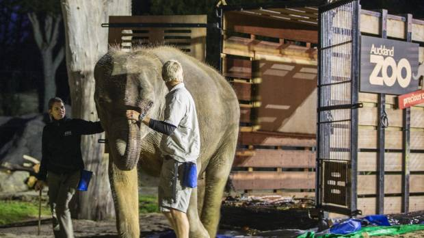 Husband and wife keeper team Corryn and Andrew Coers lead the Auckland Zoos's new elephant Anjalee from the crate she ...