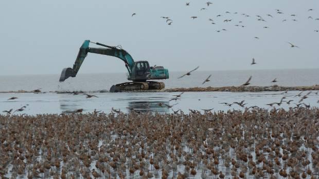 Massive coastal reclamation on the China/North Korea border is harming New Zealand's godwit population.