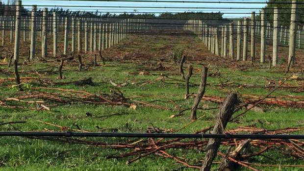Uprooted vines at Murdoch James Estate on Friday, where workers were halfway through ripping out 25,000 healthy vines to ...