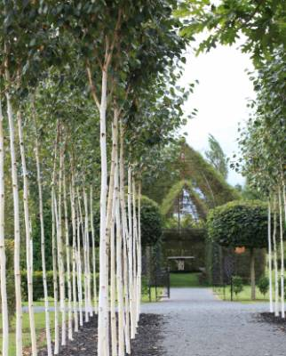 An avenue of Himalayan birch line the path from the church to the labyrinth.