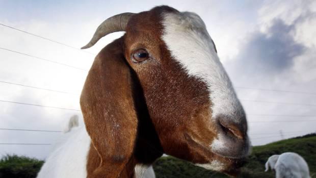 Boer Goats Make Good Eating