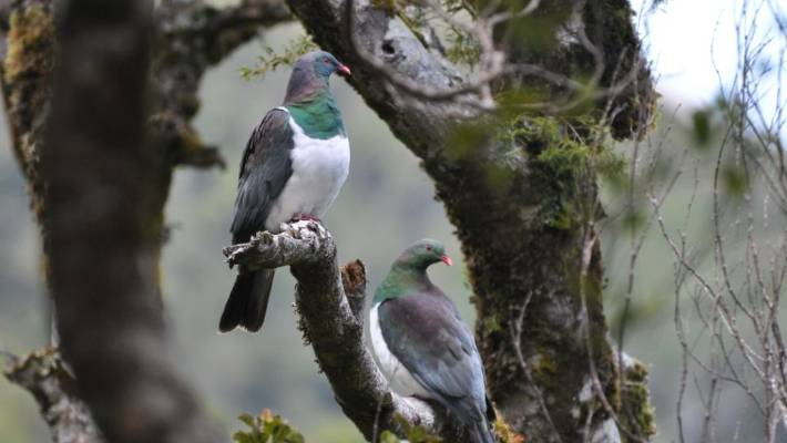Sonny Tau and the kereru affair | Stuff co nz