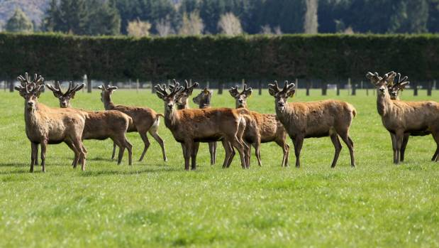 Deer farming has been in the doldrums but to judge by recent export returns is in recovery mode.