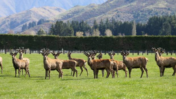 Venison prices hit an all-time June high of $9 a kilogram.