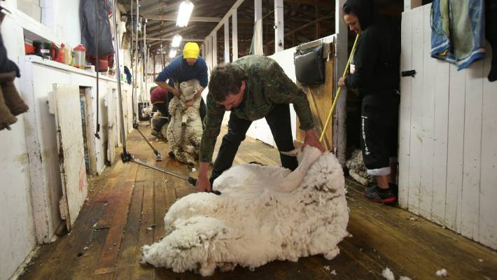 Shearing Gangs Under Pressure In New Zealand Stuff Co Nz
