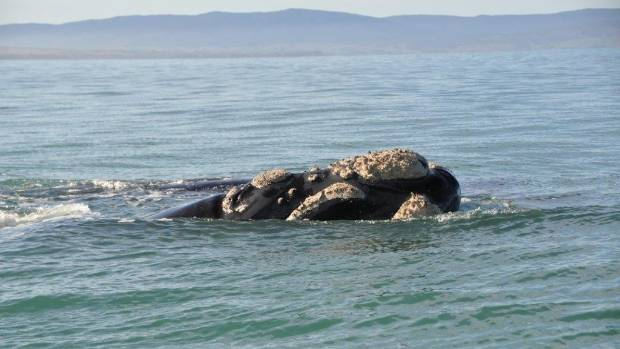 Southern right whale encounter  at  Te Wae Wae Bay,. Southland.