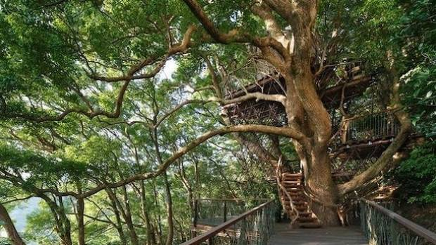 Centuries Old Camphor Is Home To Japan S Biggest Tree