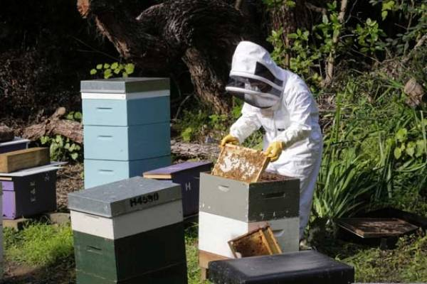 Sharon at work in her apiary at the Home of Compassion in Island Bay, Wellington.
