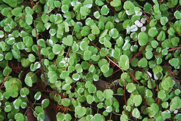 The Best Native Ground Covers For Kiwi Gardens Stuff Co Nz