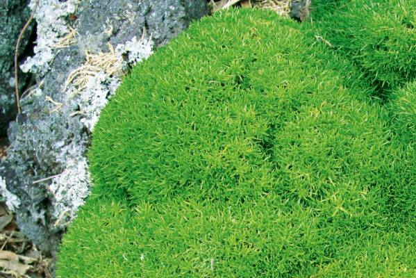 If You Are Aiming For A Anese Garden Effect Try The Moss Like Scleranthus