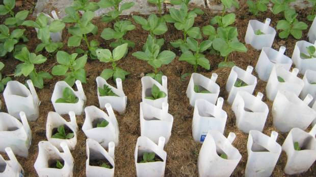 how to keep cats out of the garden. Linda Power\u0027s Broad Bean Seedlings Protected By Milk Bottles. How To Keep Cats Out Of The Garden