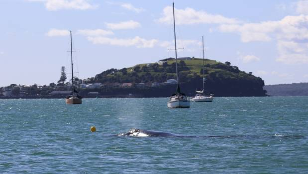 The whale basks in the waters not far from the heart of Auckland.