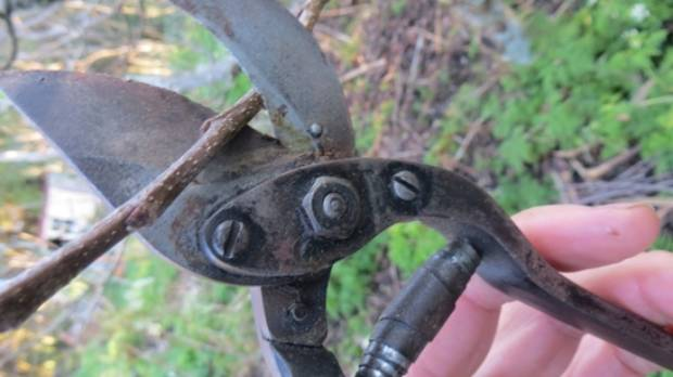 A pair of secateur is a good tool for pruning.