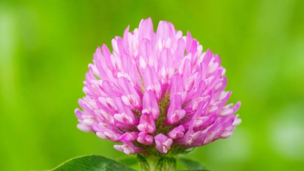 how to get rid of clover in lawn nz
