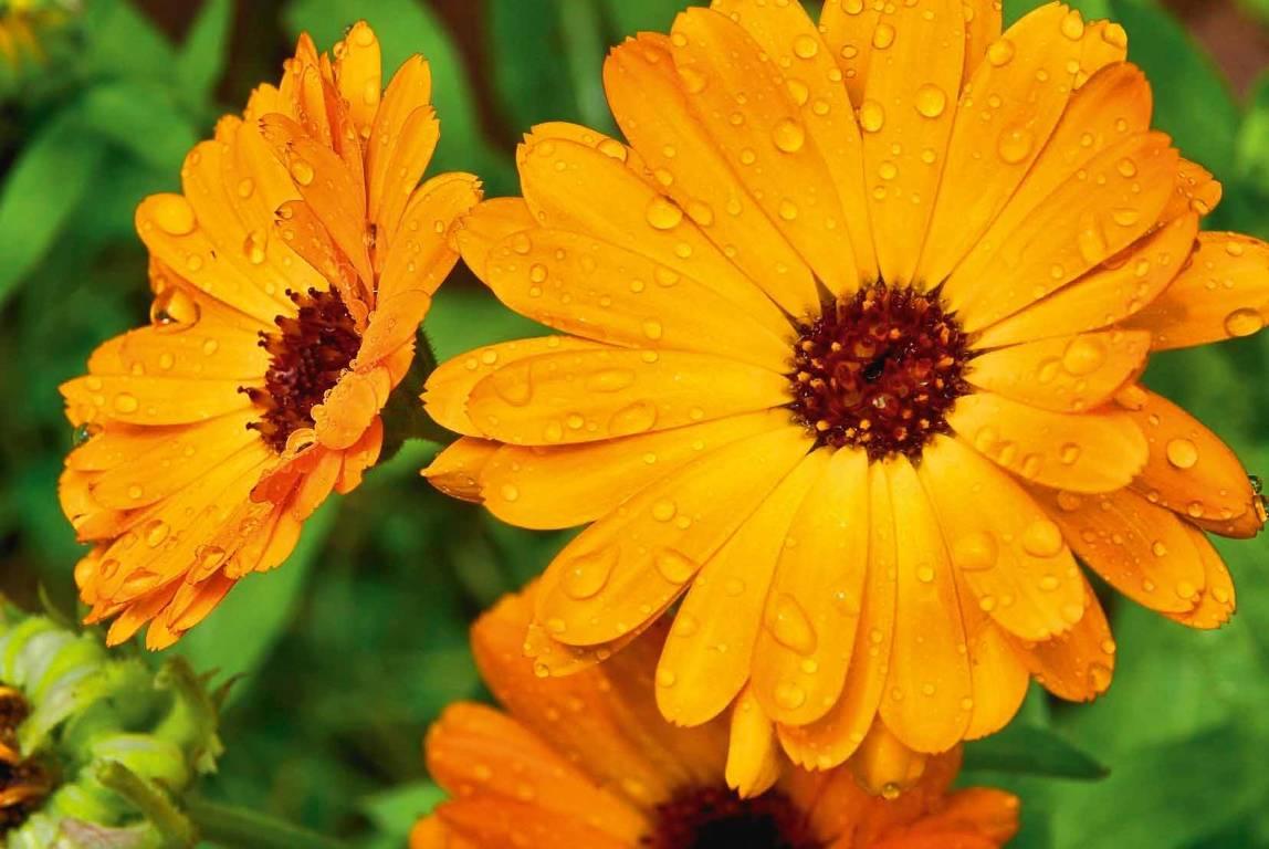 Resultado de imagem para new zealand calendula flower