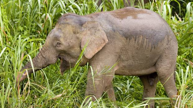 An elephant in Borneo.