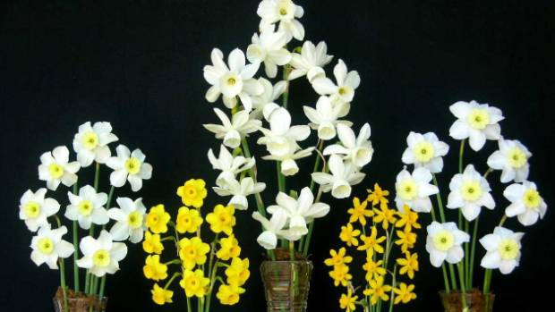 Daffodils: (from left) 'Tweeney', Narcissus calcicola, 'Lively Lady',  'Little Flik' and 'Segovia'
