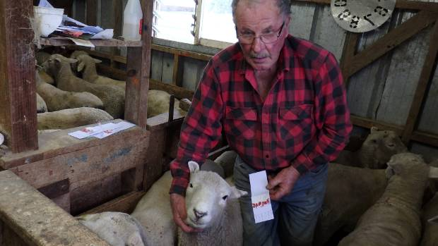 Gordon Levet collects blood samples from his ram hoggets to determine resistance to foot diseases.