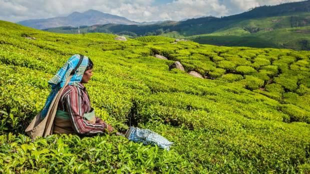 A tea-picker's life in Assam is a hard one.