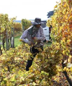 Five Marlborough vineyard contractors are being investigated for time keeping records and employment contracts.