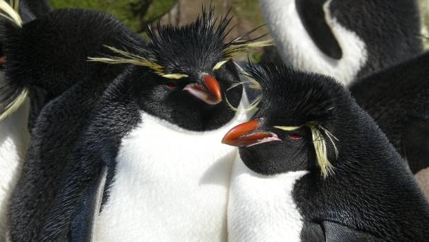 The Campbell Island population of the eastern rockhopper, once the largest in New Zealand, crashed by 94 per cent over a ...