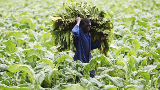 A farm worker harvests tobacco leaves near Harare, Zimbabwe, earlier this year.
