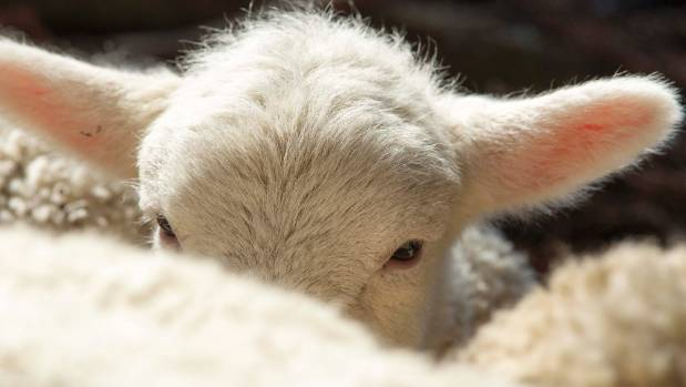 New ways to market lamb will be investigated in a $25m research programme.