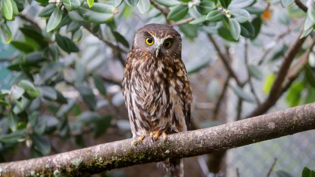 Brooklands Zoo has been asked to rehabilitate a morepork, treated by New Plymouth Vet Group for concussion.