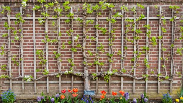 A pear tree espaliered into a cordon is an attractive - and delicious - space saver.
