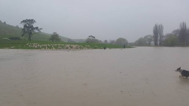 Sheep under rescue: It was all hands on deck as Luke Read and his dogs moved sheep to safe ground at Ngatapa, Gisborne. ...