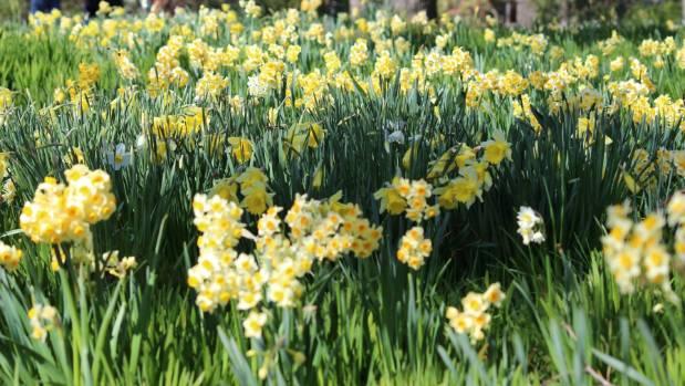 Q A Why Won 39 T My Daffodils Flower