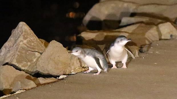 Penguins on Marine Parade.