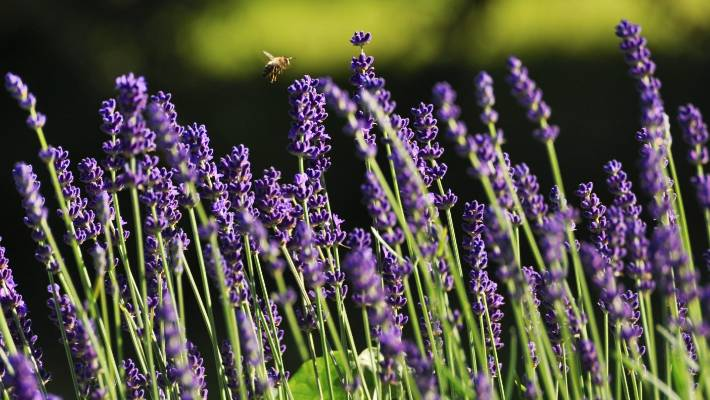 Lavender Is Beautiful Fragrant Bee Friendly And Full Of Healing S