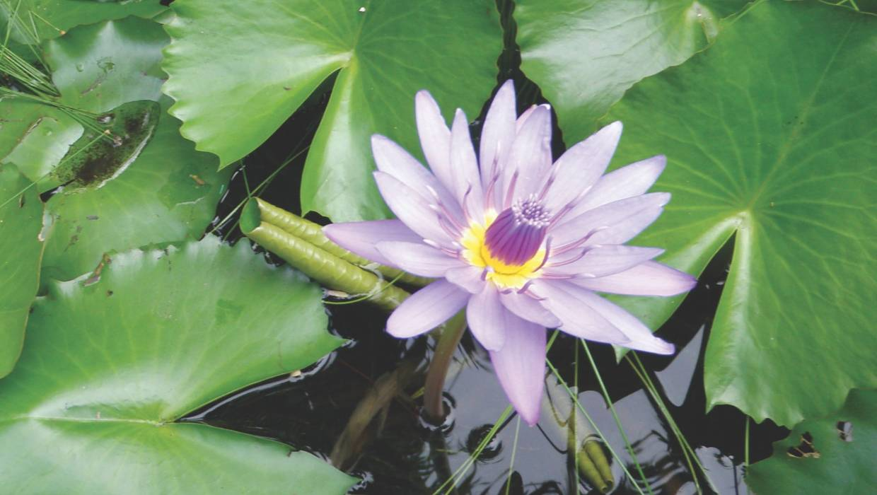 Water lilies offer a colourful show stuff izmirmasajfo