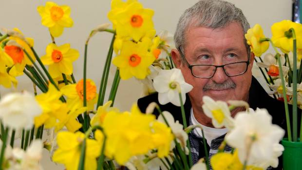 Manapouri gardening hobbyist  Neal Duncan preparing his daffodils for the 42nd Te Anau Spring Flower Show which runs on ...