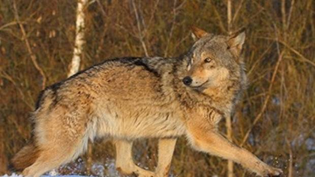 Nature finds a way. The number of wolves living in and around the Chernobyl site is more than seven times greater than ...