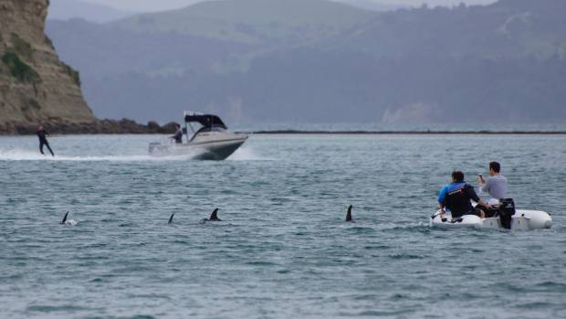 Boaties were seen harrassing dolphins at Manly, Whangaparaoa.